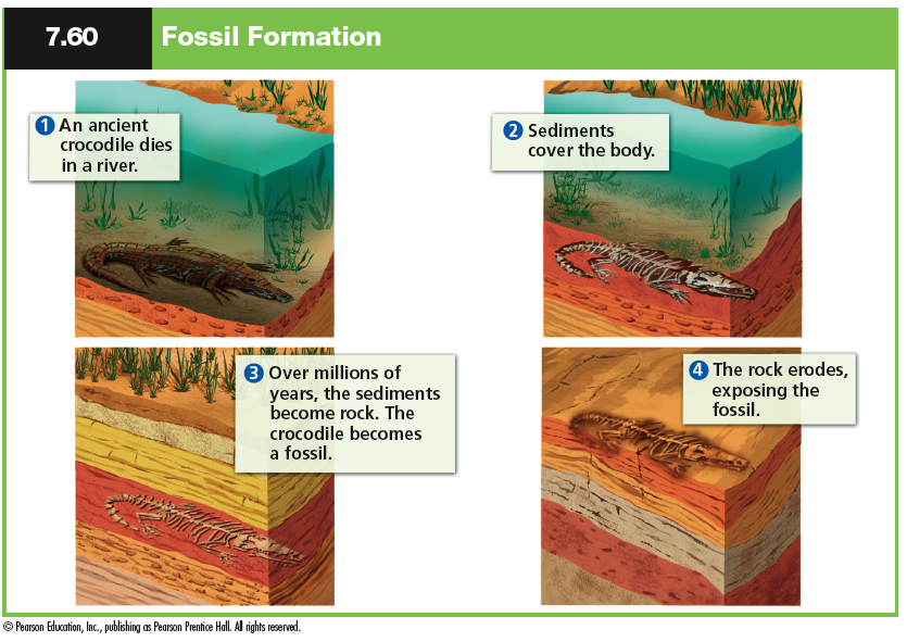 the process of fossilization and how to date fossils The law of fossil succession is very important to geologists who need to know the ages of the rocks they  these useful fossils are called index fossils.